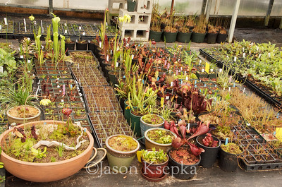 Carnivorous and Bog Plants; Stock at Rare Find Nursery, Jackson, New Jersey  2013-04-20  #5