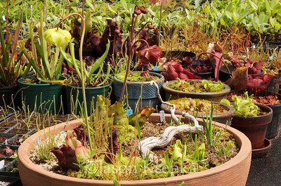 Carnivorous and Bog Plants; Stock at Rare Find Nursery, Jackson, New Jersey  2013-04-21  #10