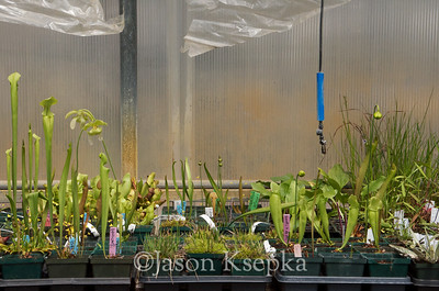 Carnivorous and Bog Plants; Stock at Rare Find Nursery, Jackson, New Jersey  2013-04-21  #7