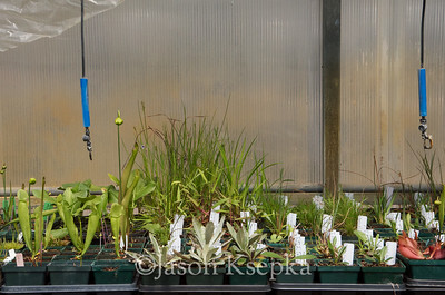 Carnivorous and Bog Plants; Stock at Rare Find Nursery, Jackson, New Jersey  2013-04-21  #8