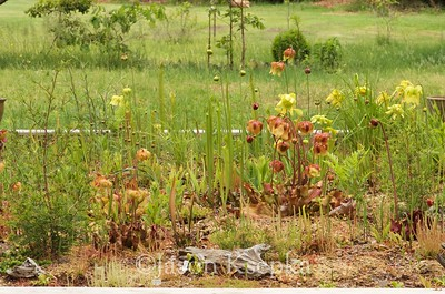 Bog garden; Farmingdale, New Jersey  2017-05-20   42