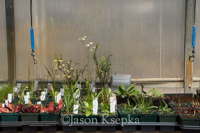 Carnivorous and Bog Plants; Stock at Rare Find Nursery, Jackson, New Jersey  2013-04-21  #9