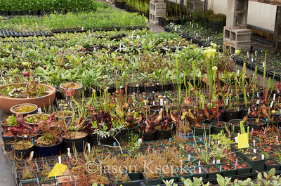 Carnivorous and Bog Plants; Stock at Rare Find Nursery, Jackson, New Jersey  2013-04-20  #1