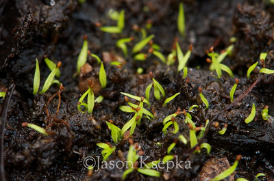 Aletris farinosa, White Colicroot, seedlings; Stock at Rare Find Nursery, Jackson, New Jersey  2013-03-20  #1