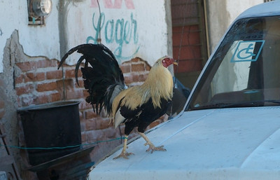 Barra de Navidad April 2013  Rooster on a leash.