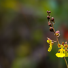 Oncidium spp.