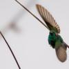 Colibri serrirostris<br /> Beija-flor-de-orelha-violeta<br /> White-vented Violetear<br /> Colibrí orejimorado