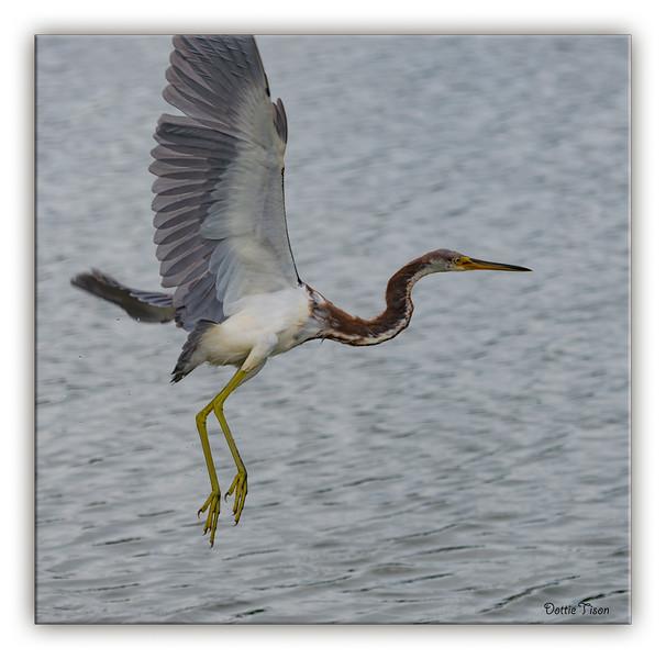 Tricolored Heron takes flight