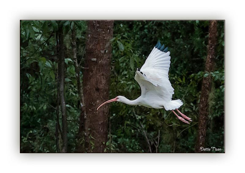 ibis3591