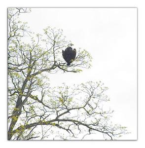 eagle6136