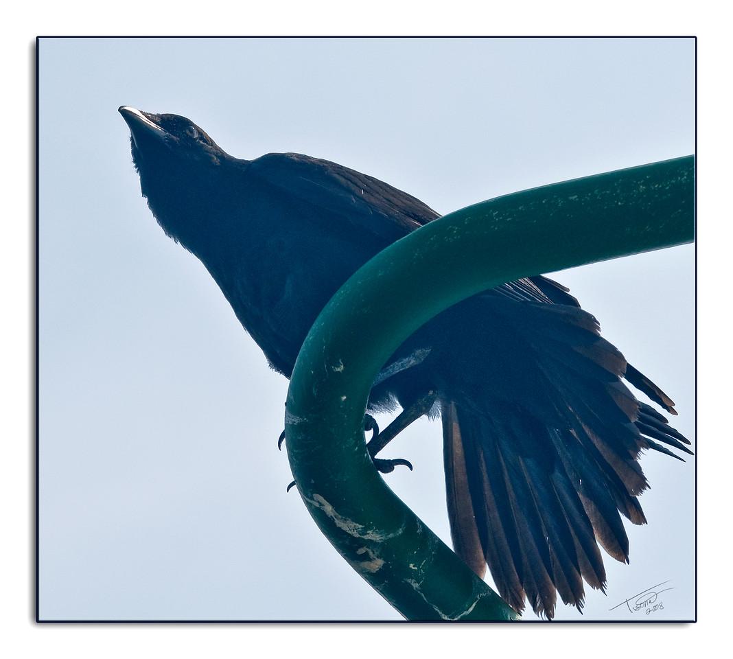 crow1235