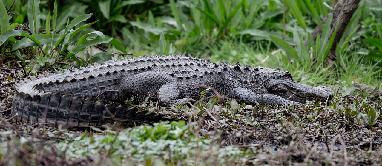 American Alligator