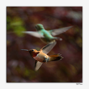 A Rufous Hummingbird is clear in the foreground, a female Rufous, or an adult Anna's Hummingbird is in the background
