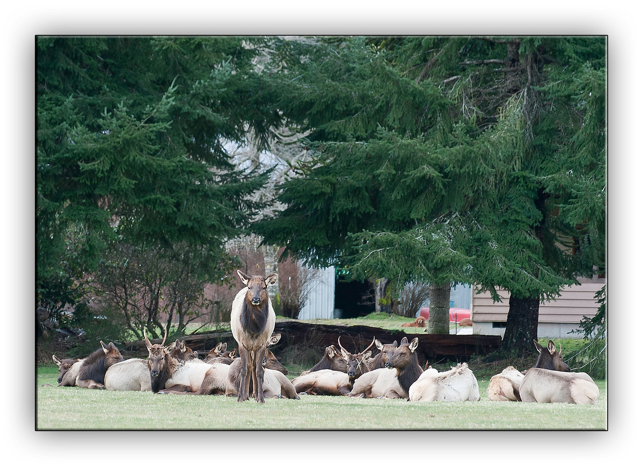 Elk Herd in small town of Brinnon Washington