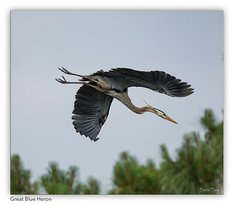 Great Blue Heads out to get nesting material