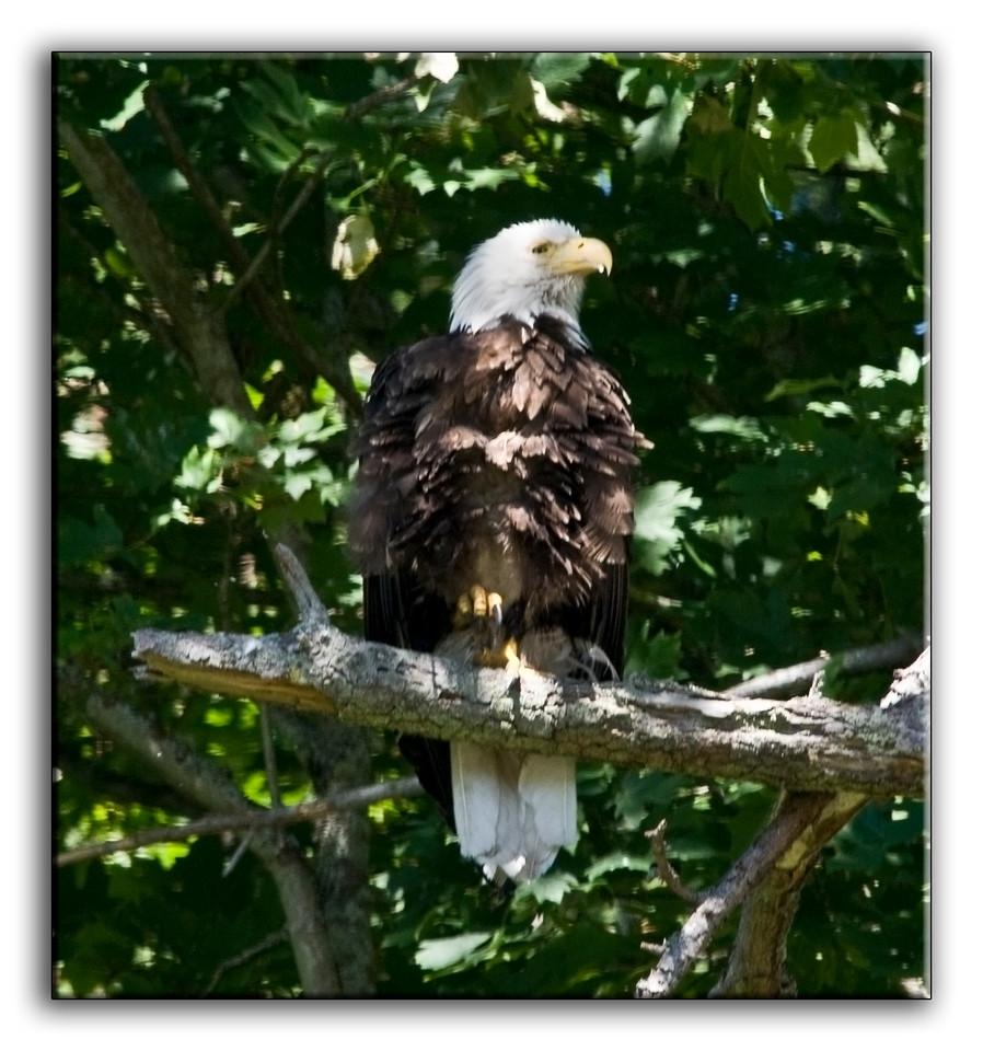 eagle0967