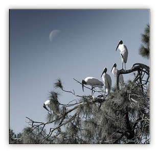 Wood Storks and a half moon
