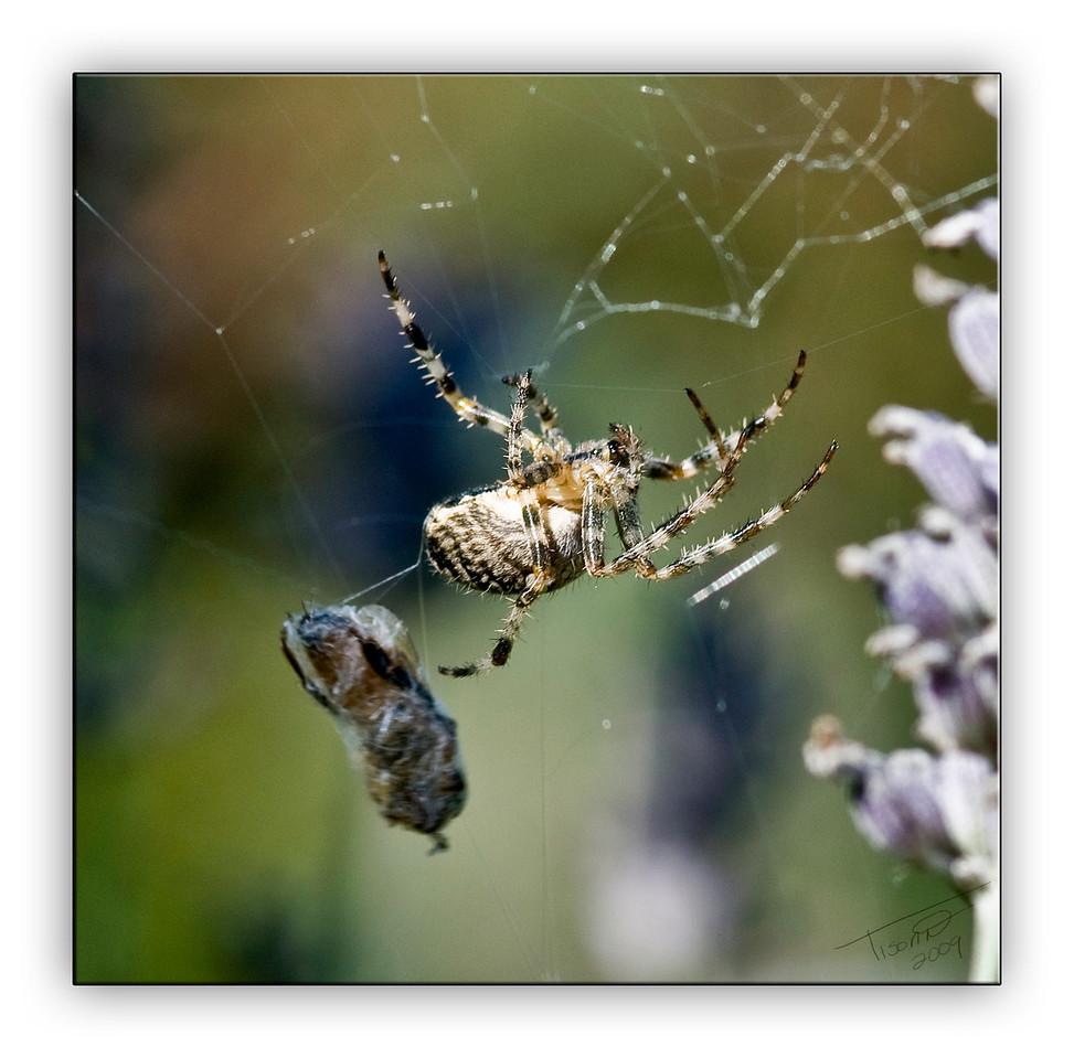 spider6646