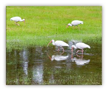 ibis3568