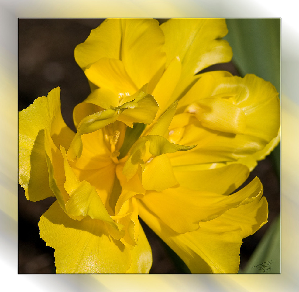 yellow tulip,