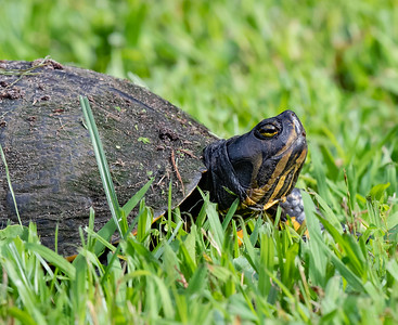Large Turtle taking a stroll through our front yard.