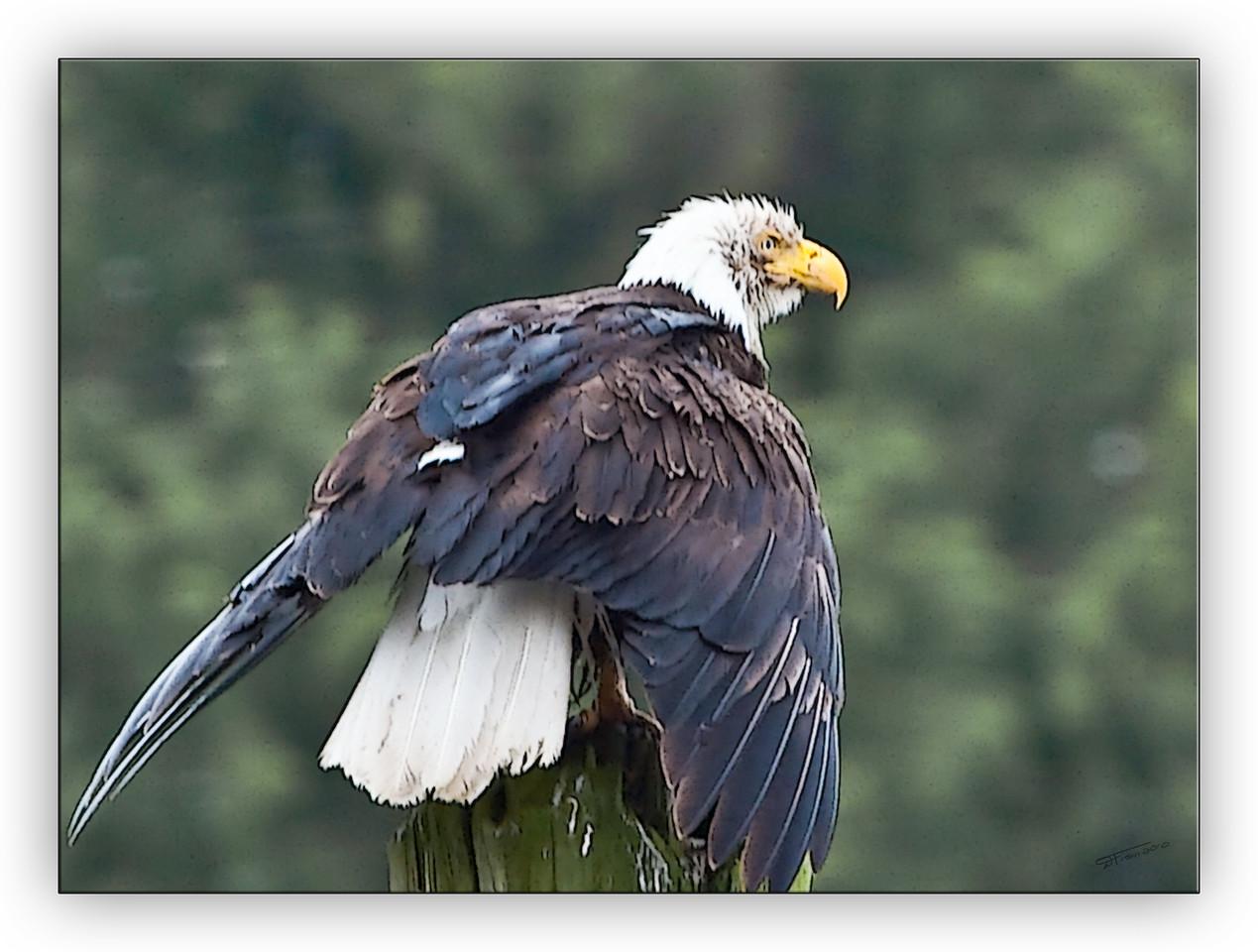 eagleart3638