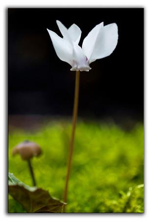 A wee cyclamen flower, her head held high.