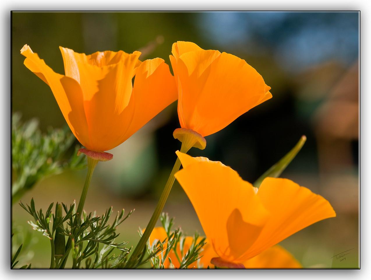poppies6399