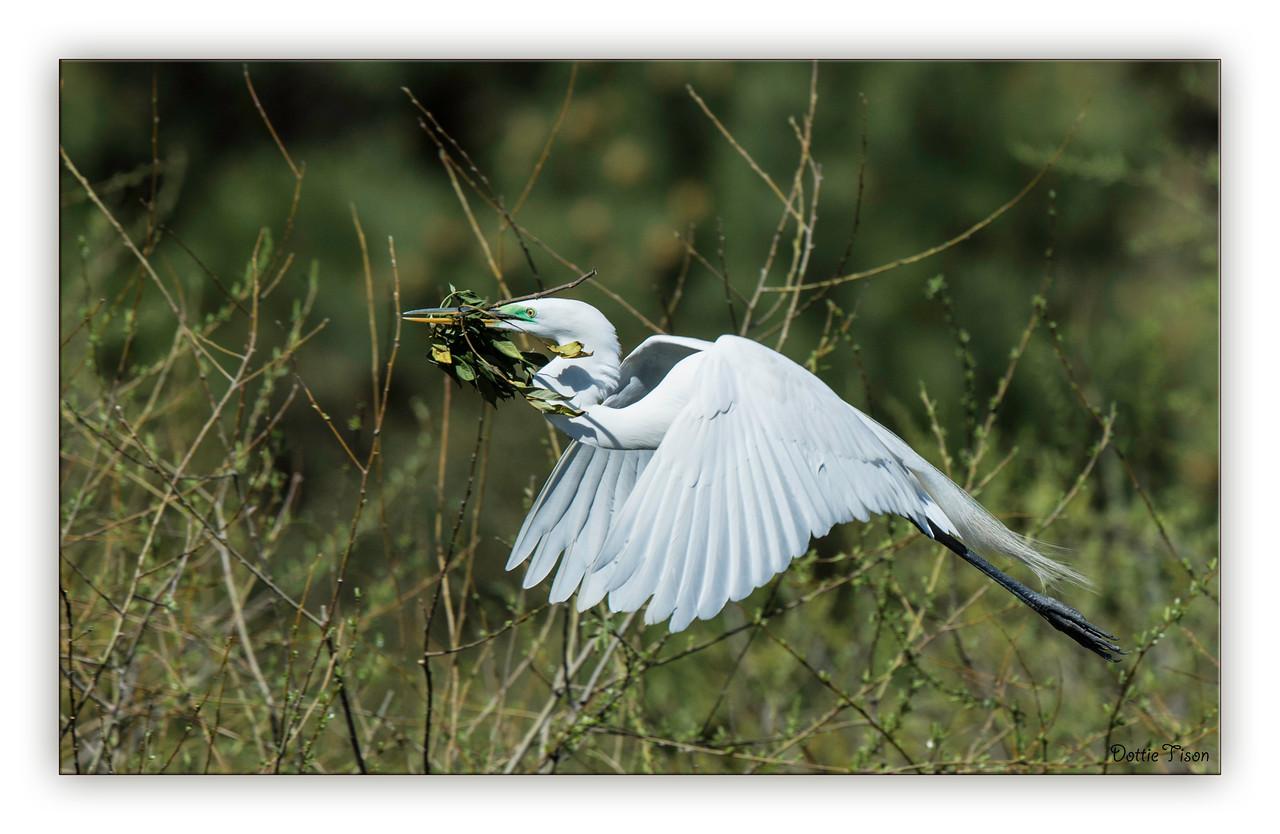 Nesting Material, Great Egret