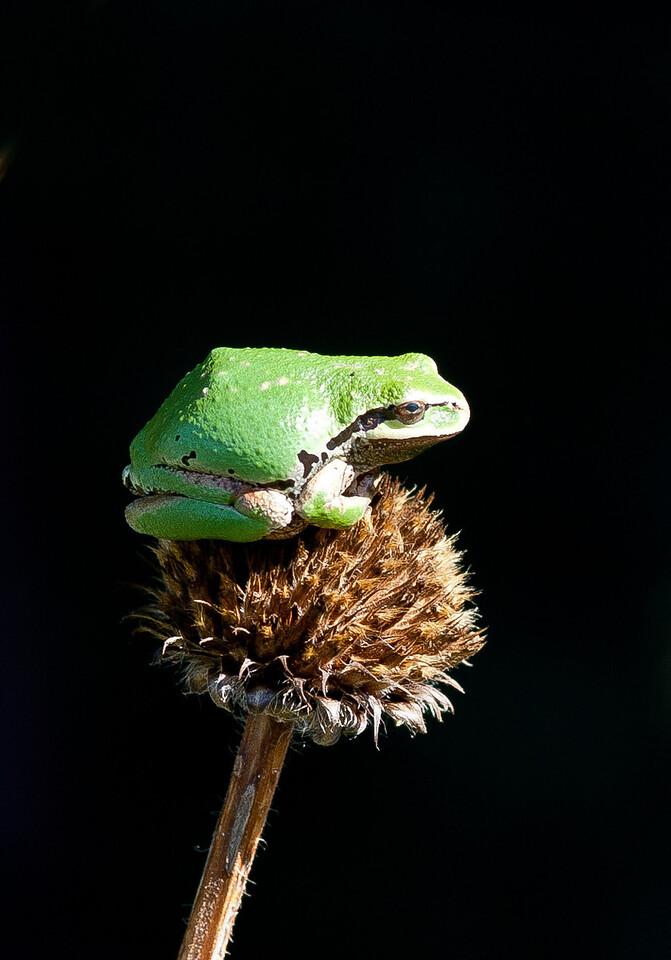 frog-1743
