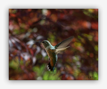 This female Rufous Hummingbird has a rust tail with a green back.