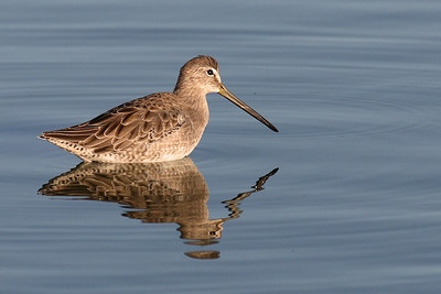 Long Billed Dowitcher (Winter Plumage)