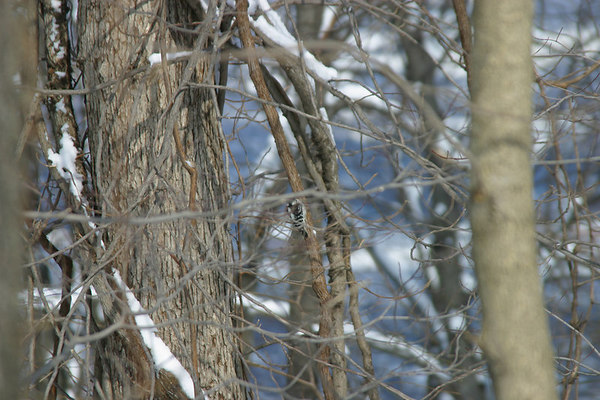 Downy Woodpecker 20060212