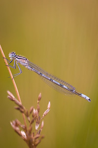Common Blue Damselfly F