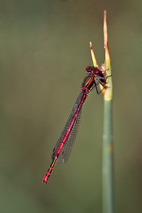 Large Red Damselfly M