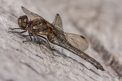 Common Darter F