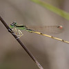Citrine Forktail - Oak Openings Region - Sep. 18, 2010