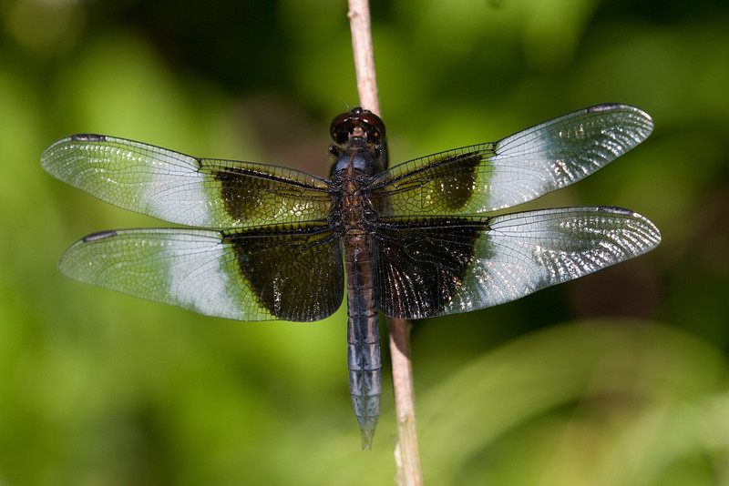 Widow Skimmer (male) - Oak Openings - July 2008