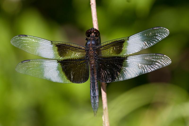 Widow Skimmer (male) - Oak Openings - July 2008