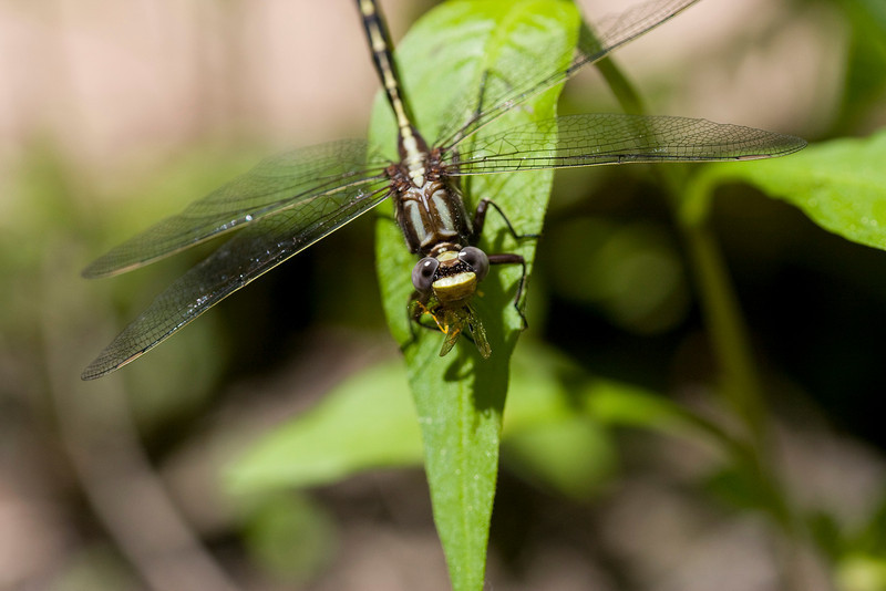 Lancet or Pronghorn? Clubtail - May 2009<br /> It's eating lunch!