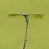 Blue Dasher - August 8, 2010