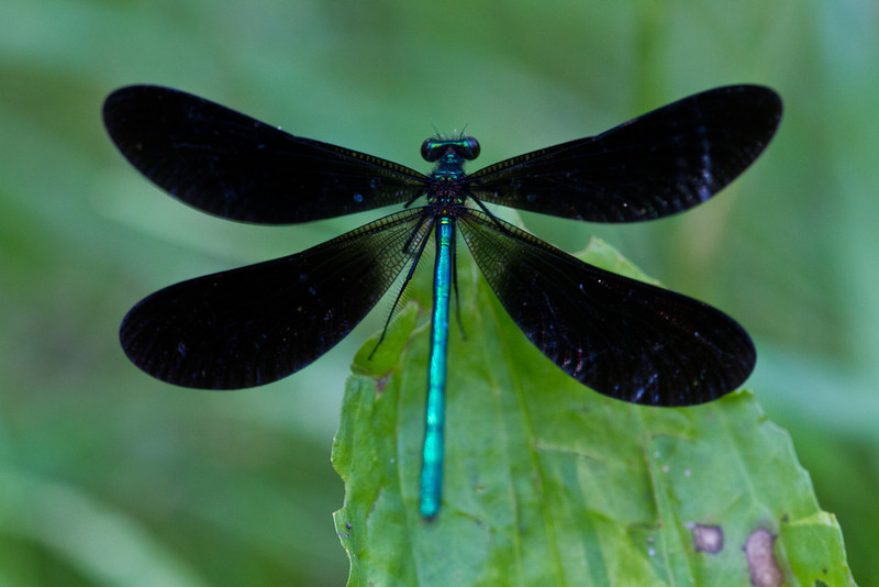 Ebony Jewelwing - Hudson Mills - June 10, 2012