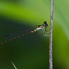 Fragile Forktail - Oak Openings - July 25, 2010