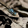 Azure Bluet - June 2008