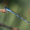 Double striped Bluet - July 26, 2010