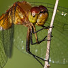 Ruby Meadowhawk - Secor metropark - July 26, 2010