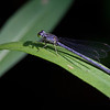 Eastern Forktail female - June 7, 2011