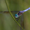 Blue Dasher - June 2010 - Irwin Prairie