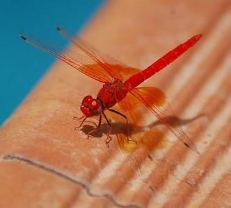 Orange-winged Dropwing (Trithemis kirbyiused) 1