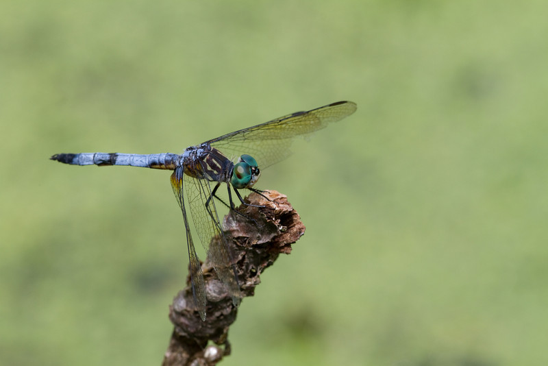 Blue Dasher - Oak Openings - July 25, 2010